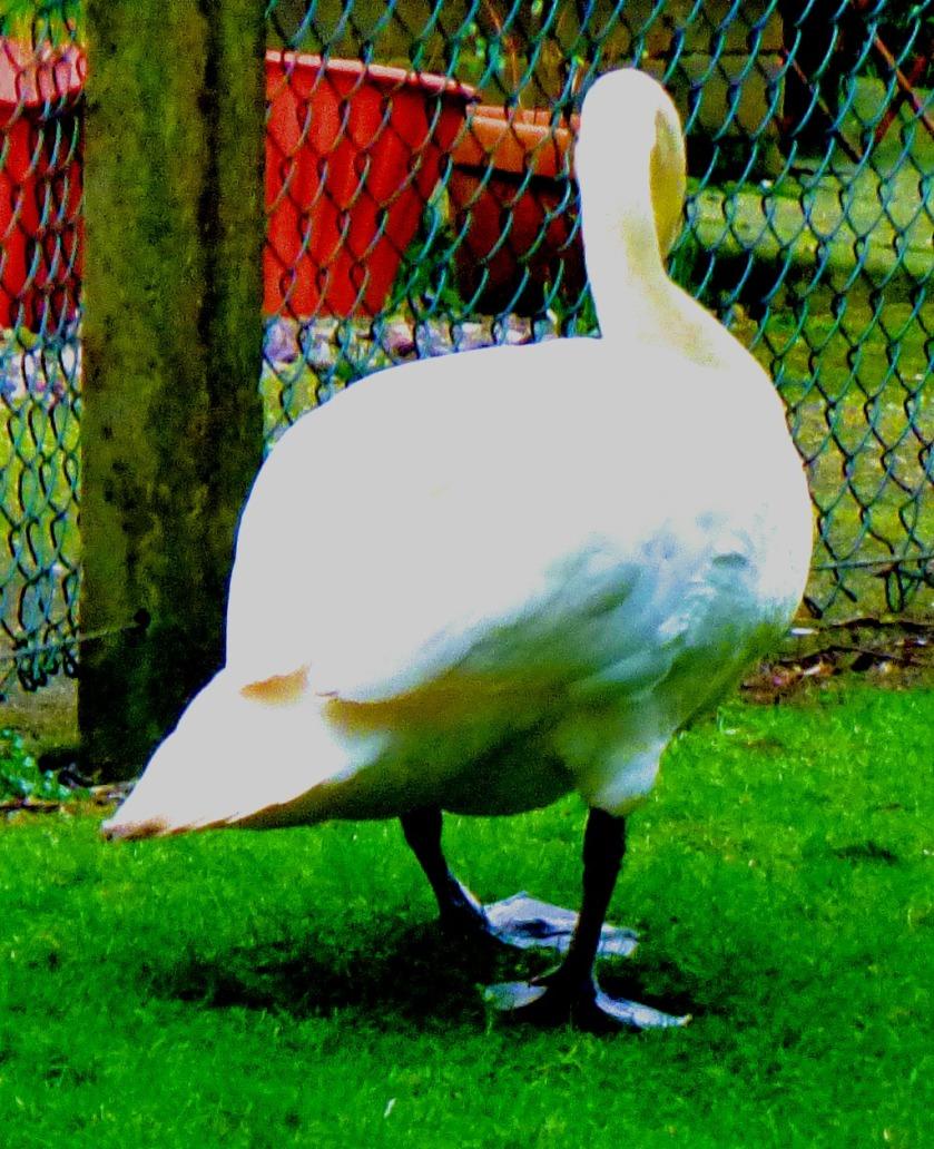 Mute Swan CII