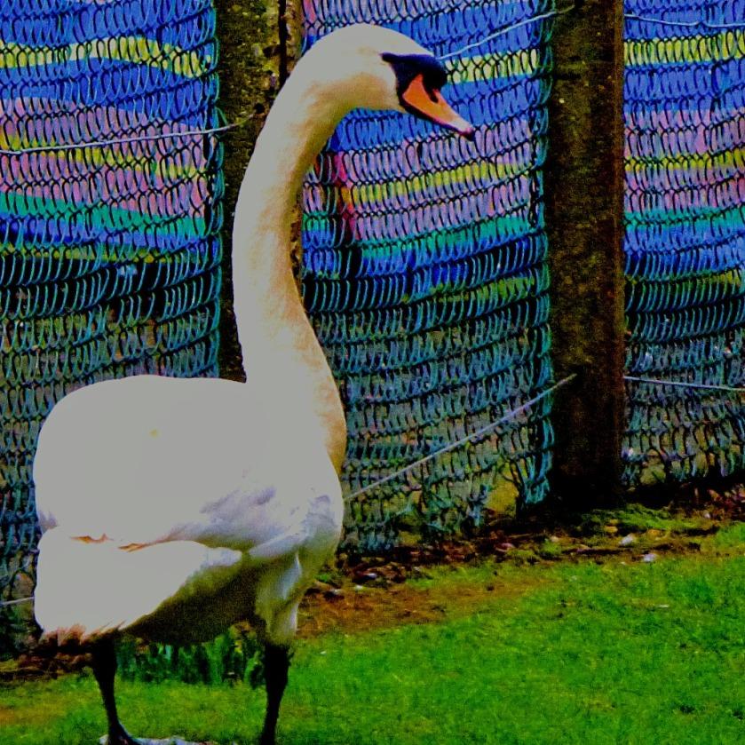 Mute Swan CIII