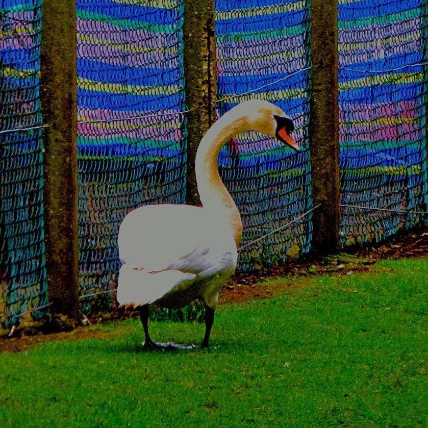 Mute Swan CIV