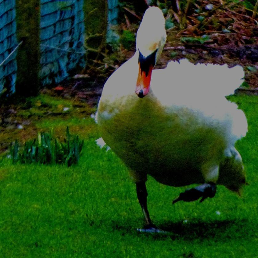 Mute Swan CV