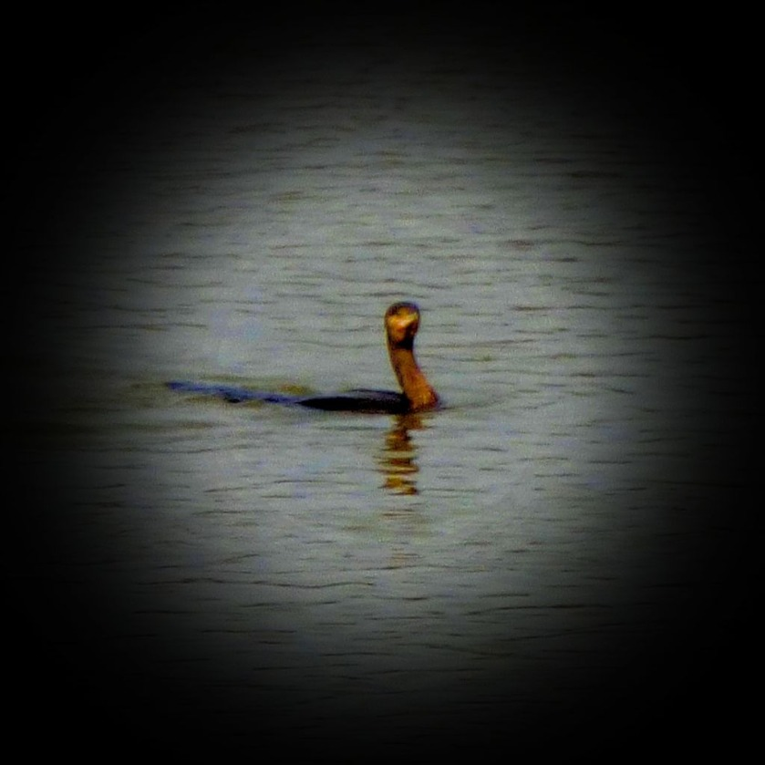 Swimming Cormorant X