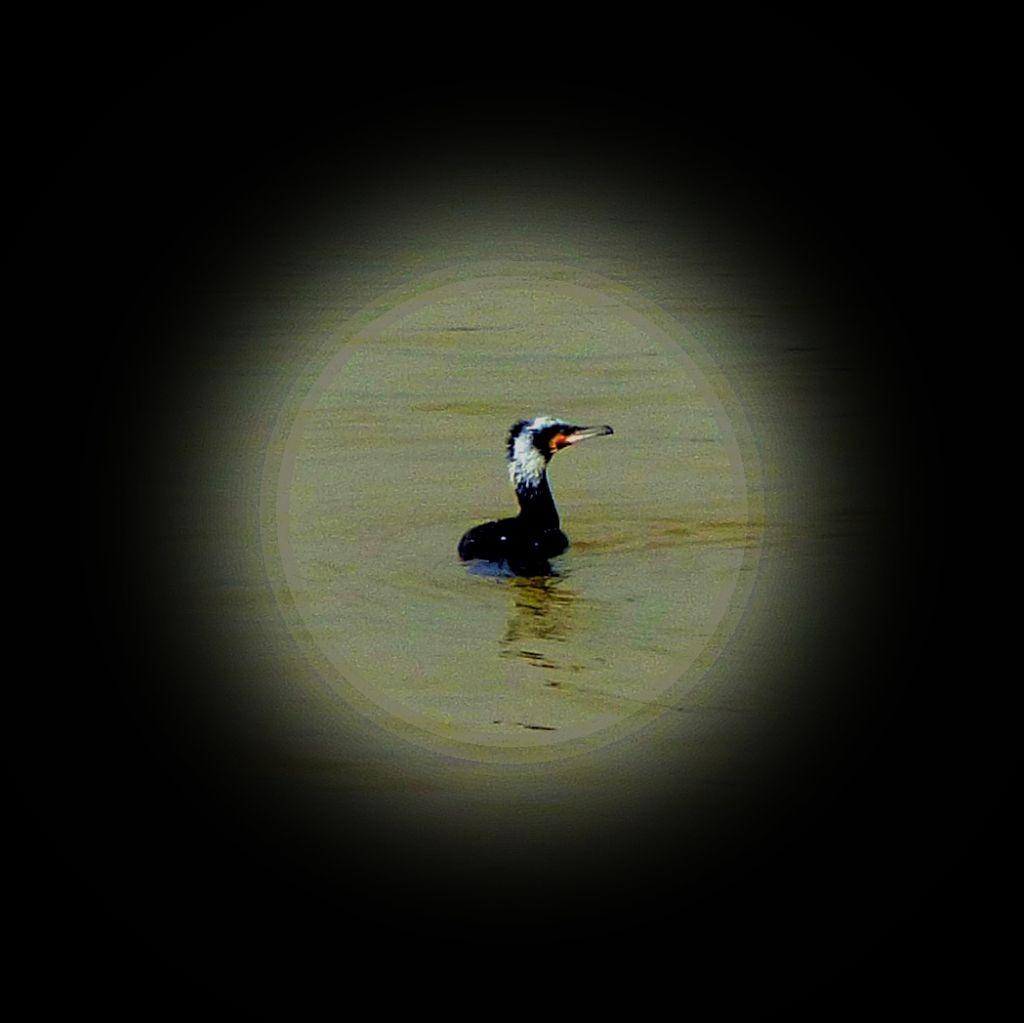 Swimming Cormorant XI