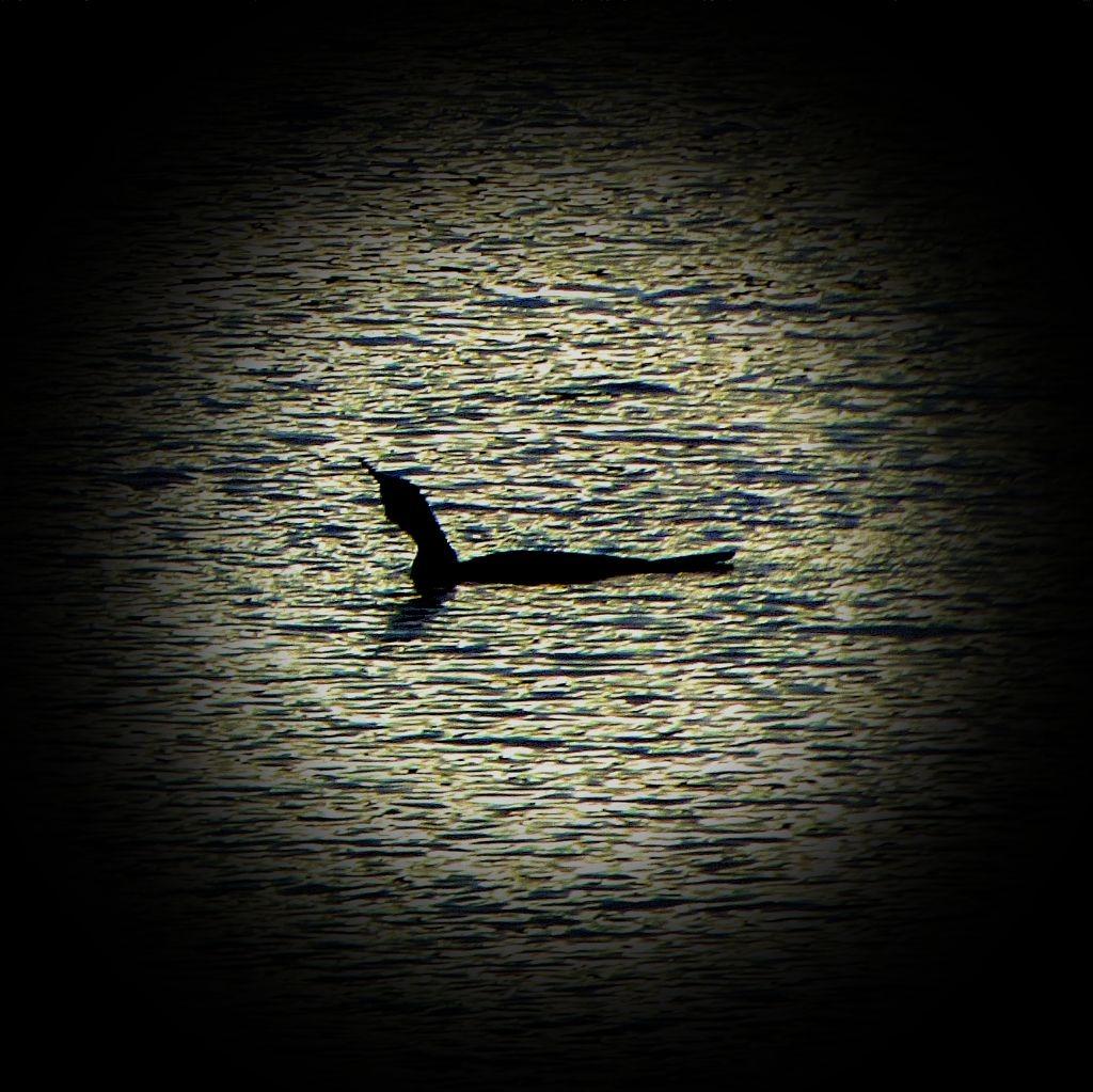 Swimming cormorant