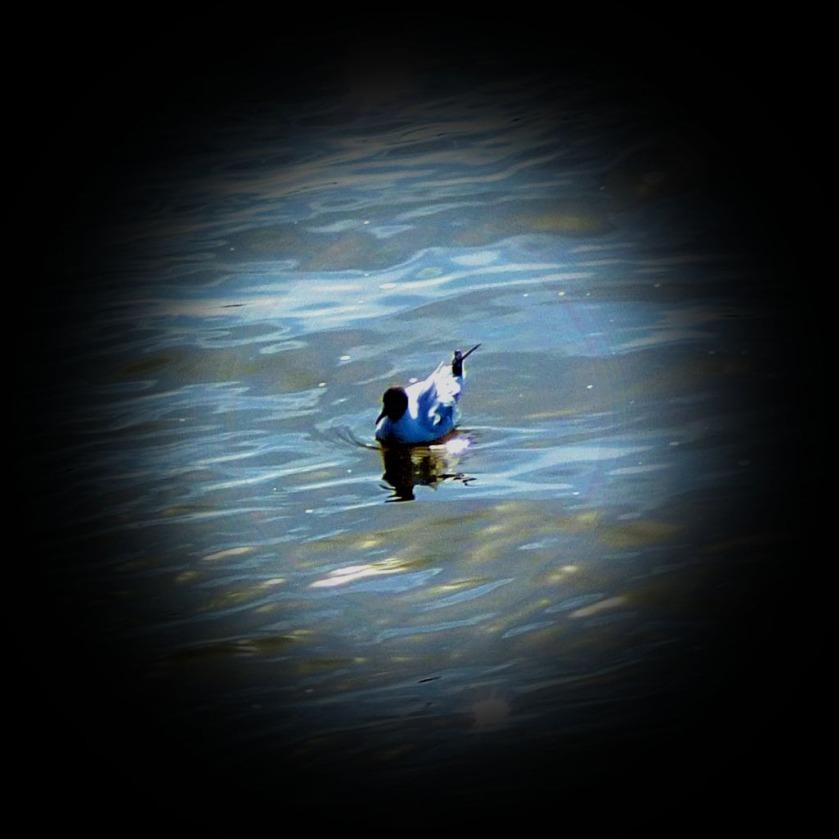 Black headed gull I