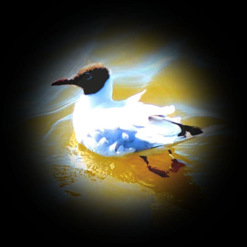 Black headed gull II