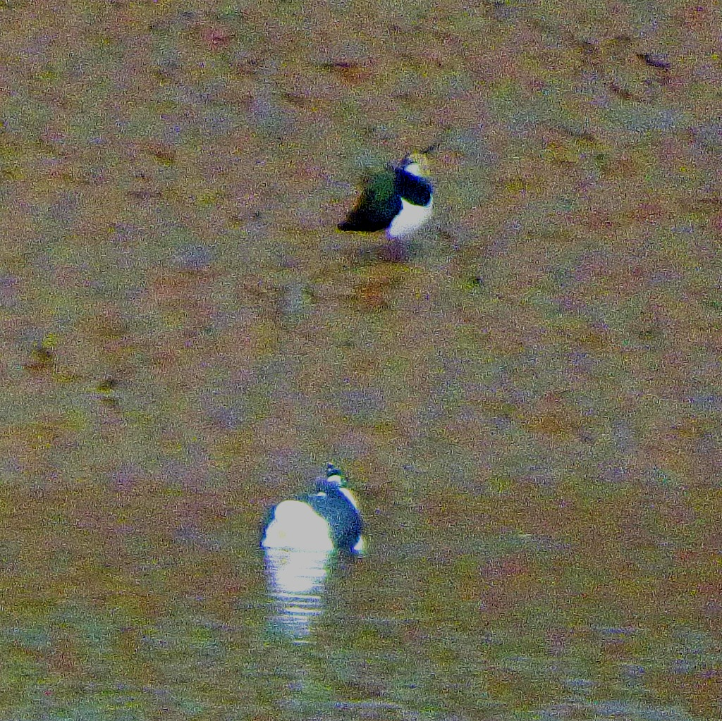 gull and lapwing