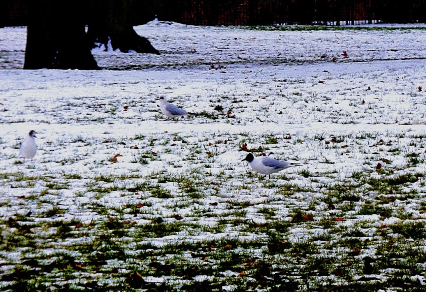 Gulls in the snow