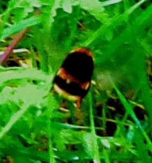 Bee - close up