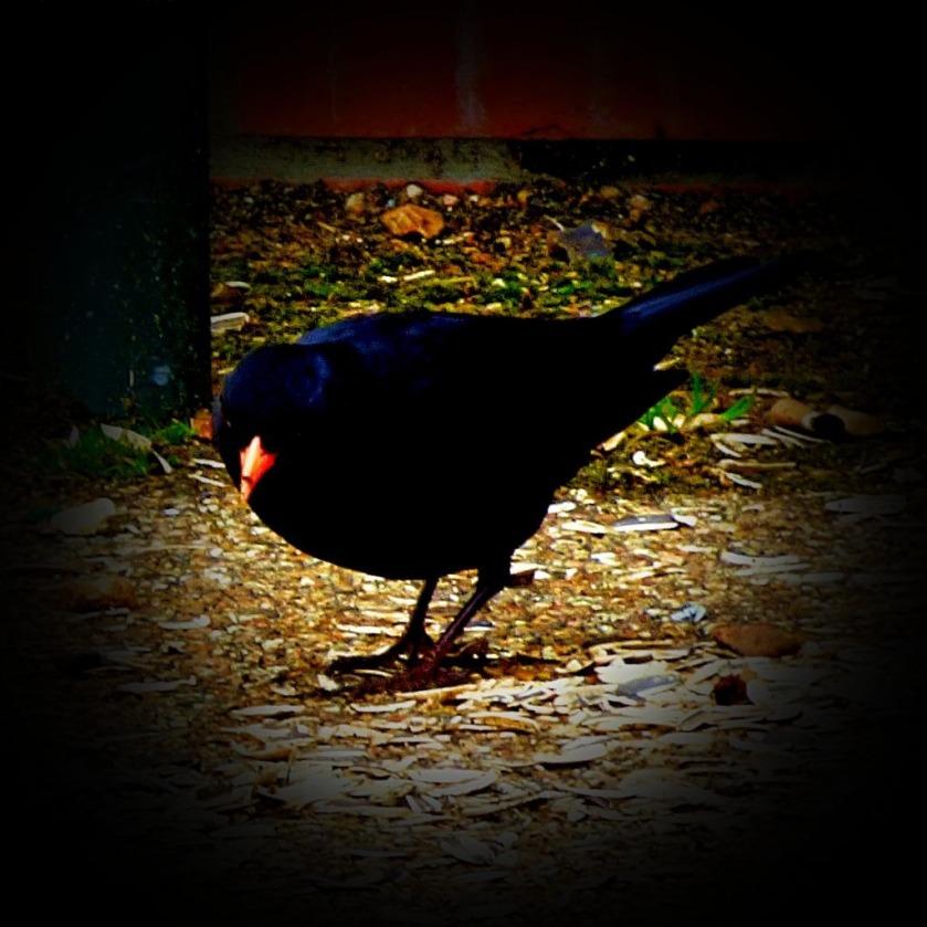 Blackbird MDCLXVI