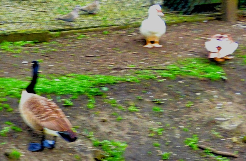 Canada Goose and Muscovy ducks