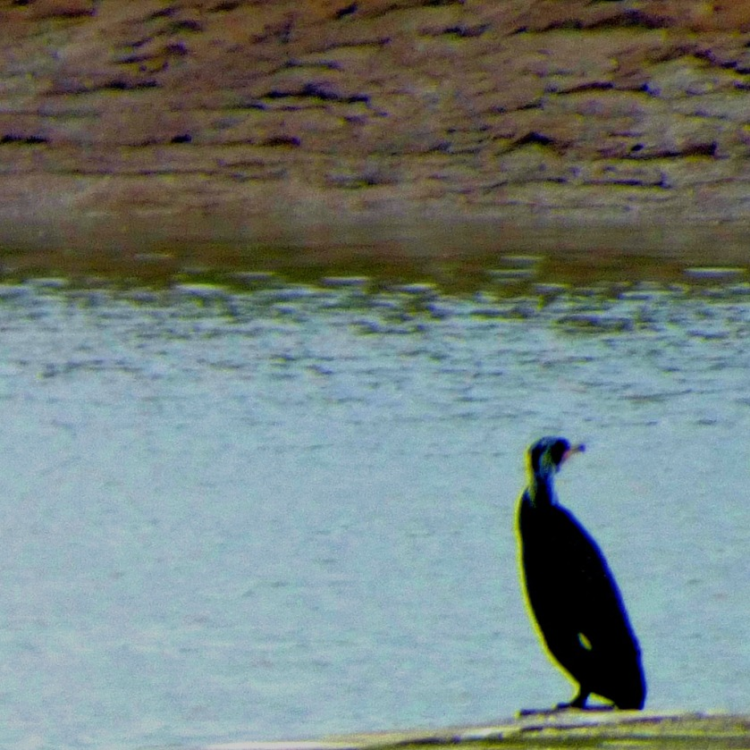 Cormorant MDCLXVI