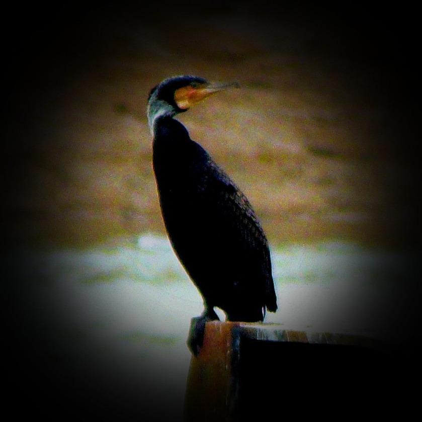 Cormorant MDCLXVII