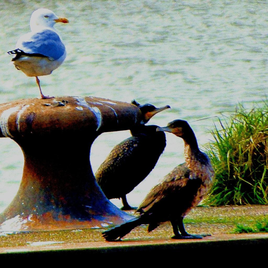 Cormorants and gull II