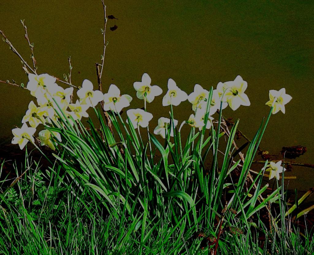Daffodils, Gaywood River