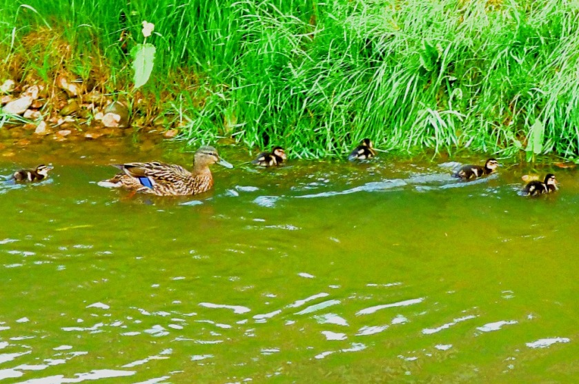 Duck family outing