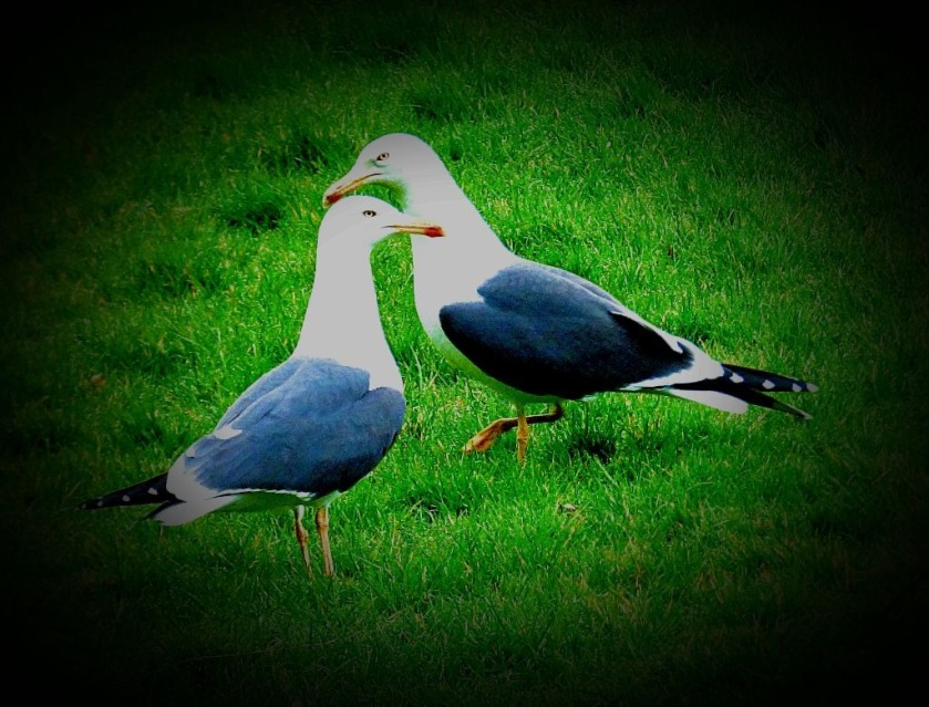 lesser black backed gulls