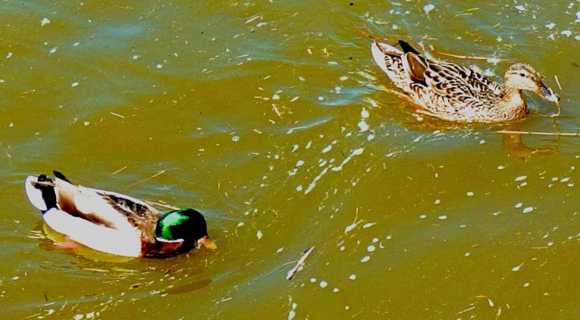 Mallard pair on Great Ouse