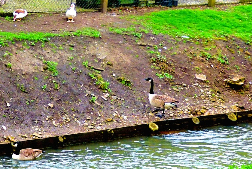 Muscovy ducks and Canada Geese