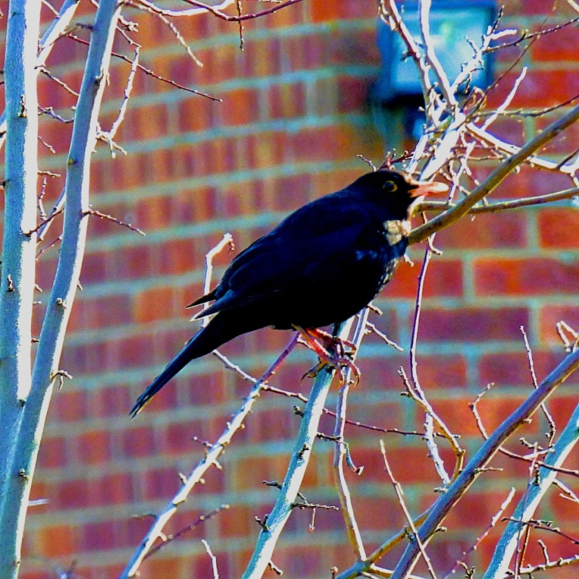 perching blackbird