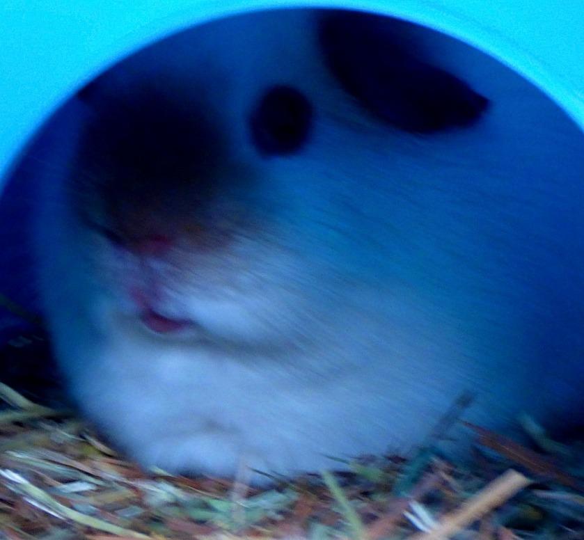 Shy guinea pig