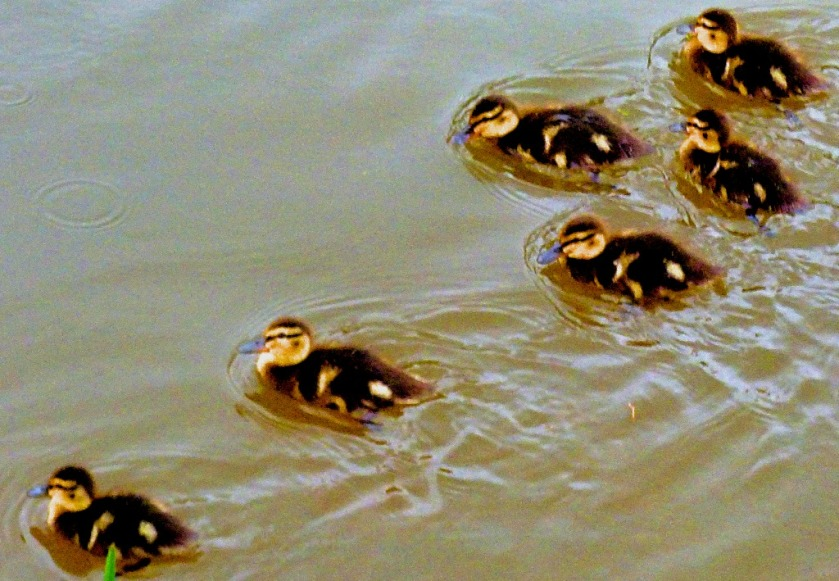 six ducklings