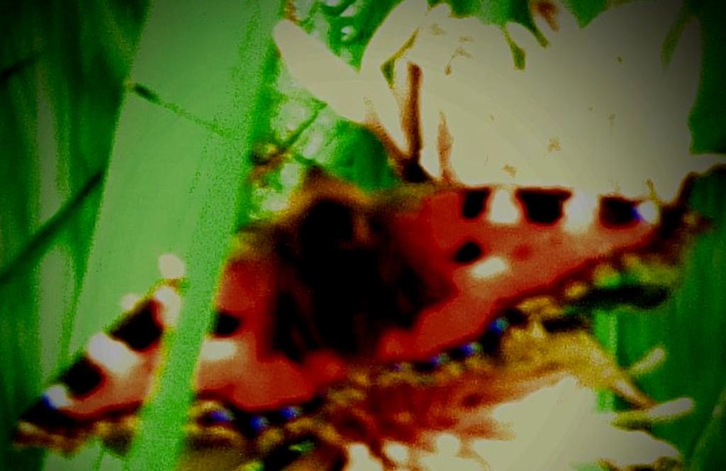 Small Tortoiseshell - close up