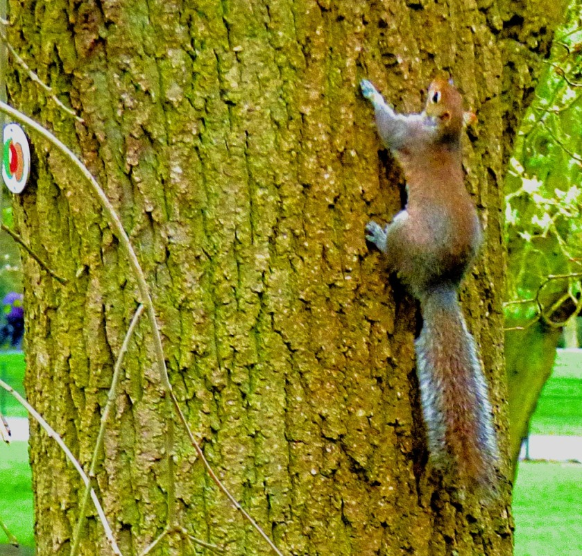 squirrel swarming up tree