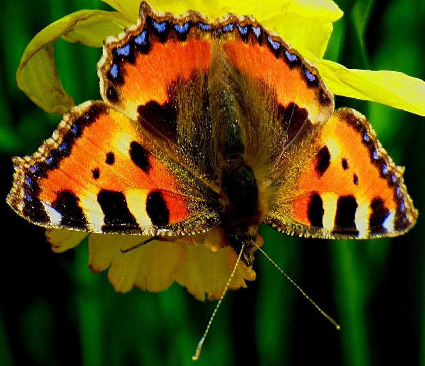 Tortoiseshell Butterfly II