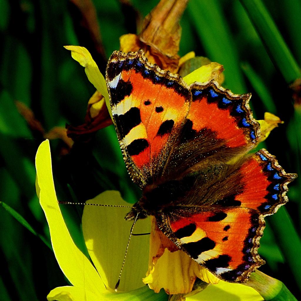 Tortoiseshell Butterfly III