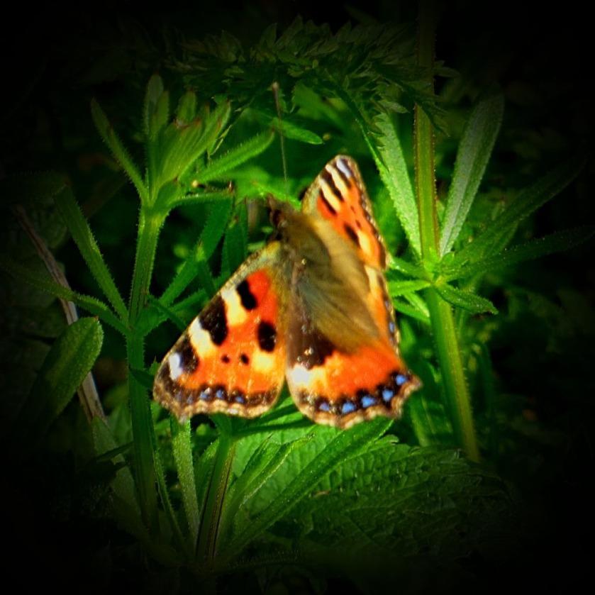 Tortoiseshell Butterfly IV