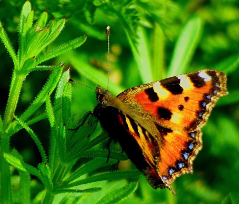 Tortoiseshell Butterfly V