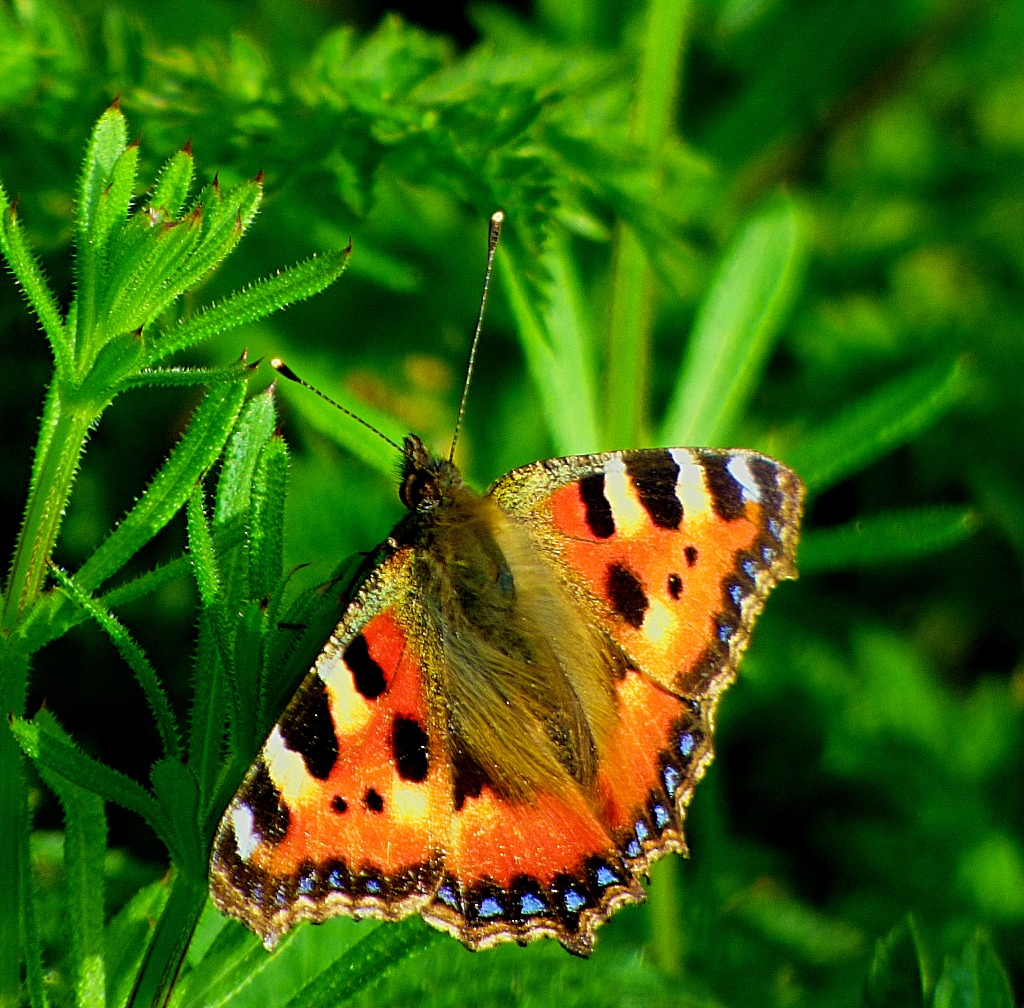 Tortoiseshell Butterfly VI