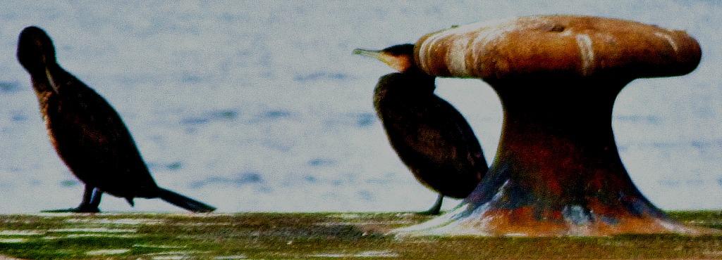 Two cormorants I