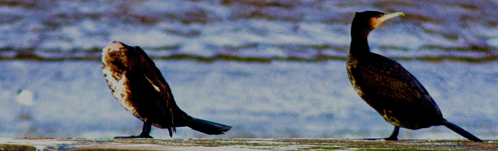Two Cormorants II
