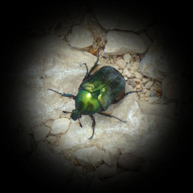 Giant green beetle