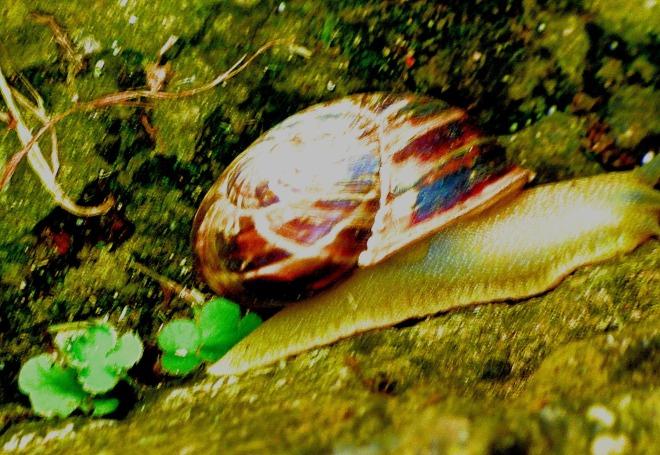Mountain snail