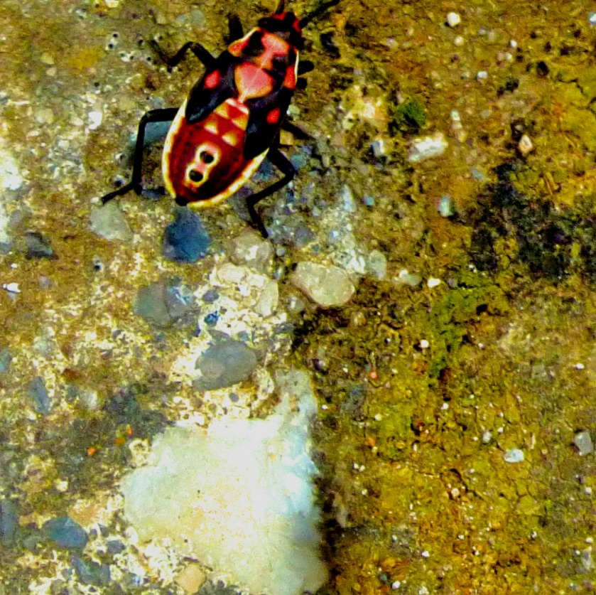 multicoloured beetle