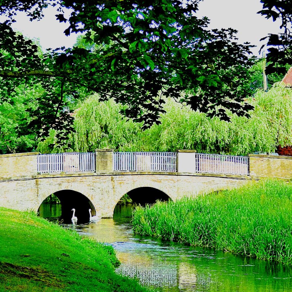Mute swans approaching the bridge