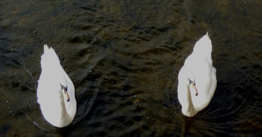 Mute Swans II