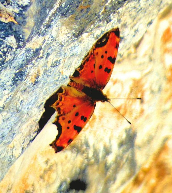 Orange bitterfly II