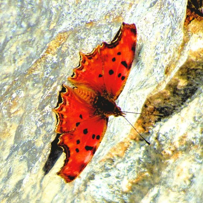 Orange Butterfly IV