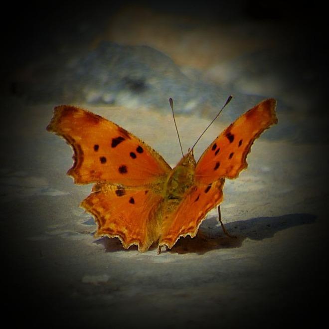Orange butterfly VI