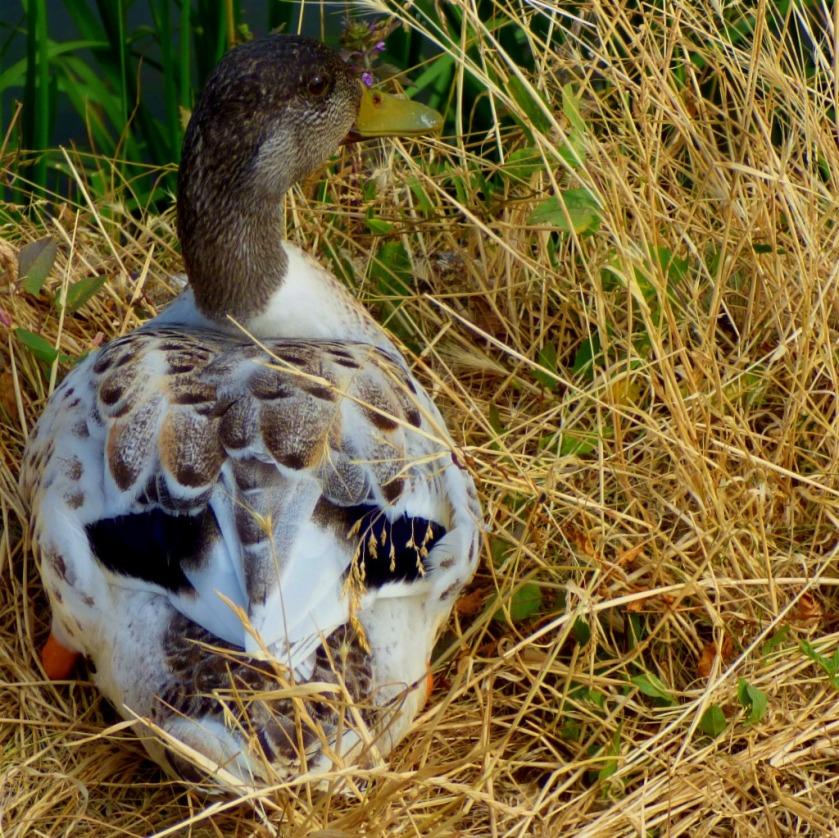 Pale duck