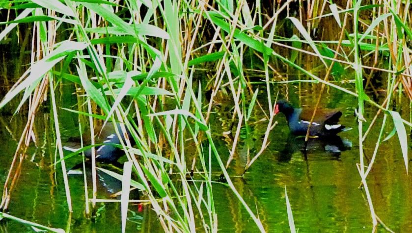 Two moorhens