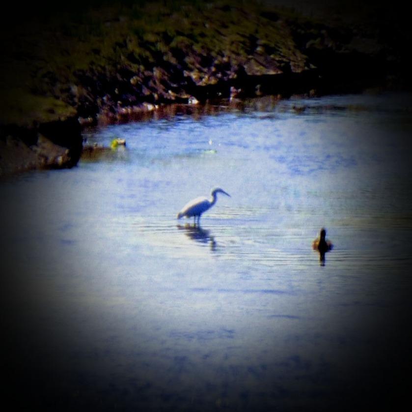 Heron, Lelant Saltings