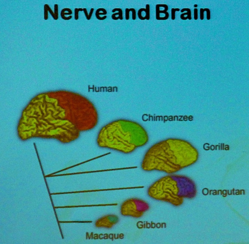 Nerve and Brain