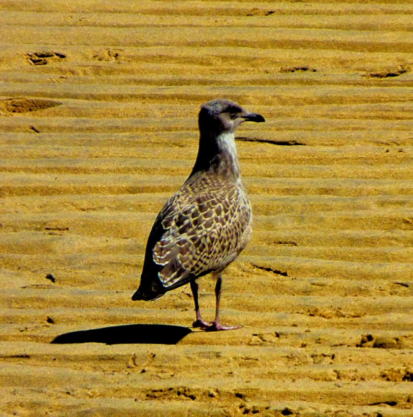 speckled gull