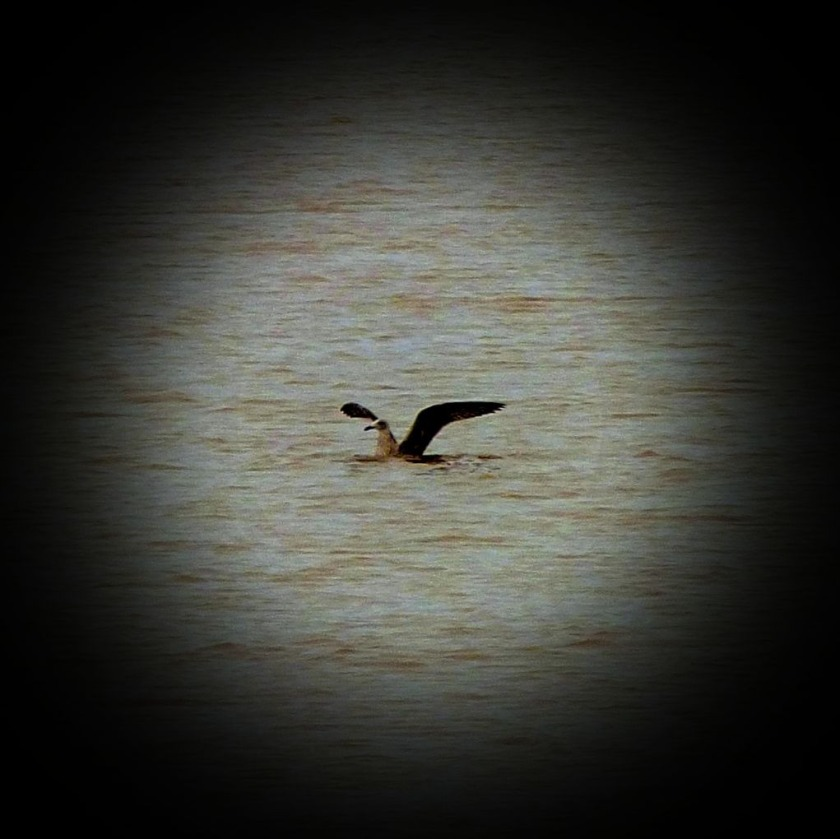 Blackbacked gull lands on the water
