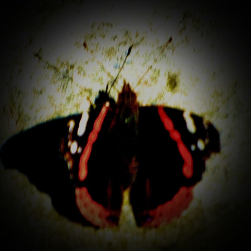 Red Admiral IV