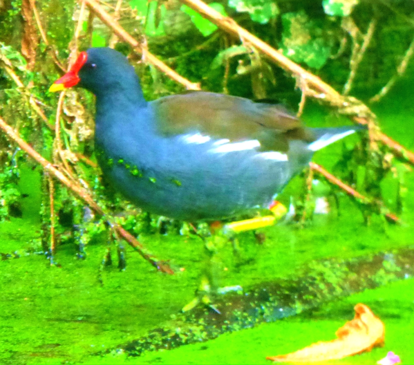 Moorhen on branch